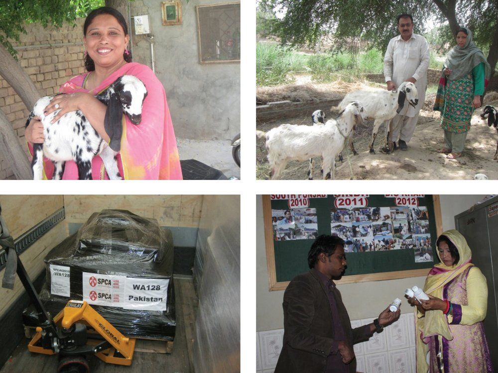 Clockwise from top left: Pakistani woman holds a kid helped by Ravi Foundation, locals stand with goats that supply milk and income, Ravi Foundation employees inspect supplies upon arrival, SPCA International VSA shipment arrives.