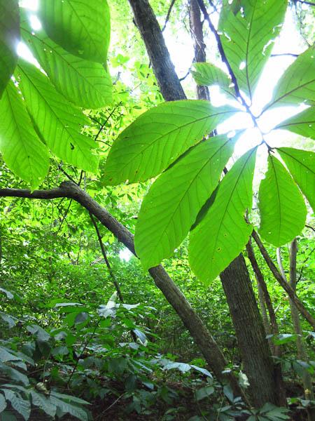 Spikenard — Wild Plant Culture