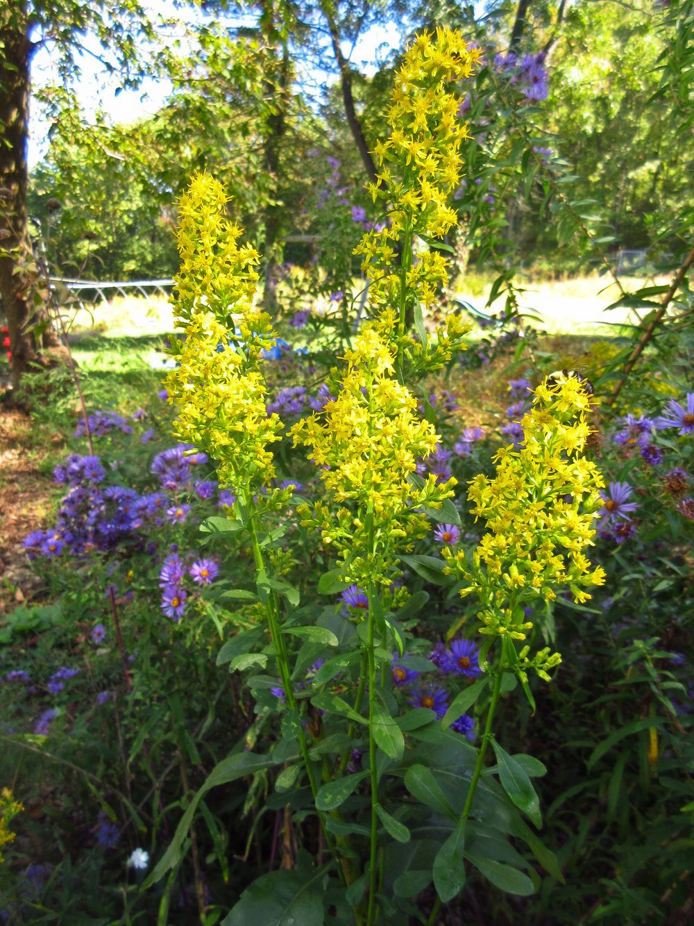 Showy Goldenrod at Wild Ridge Farm