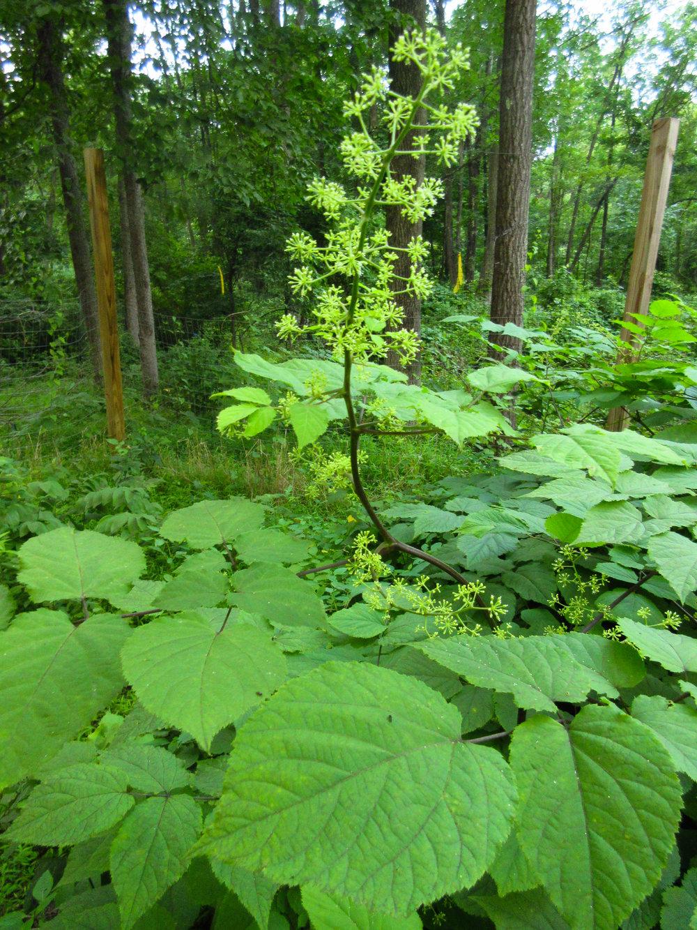 Aralia racemosa-1195.jpg