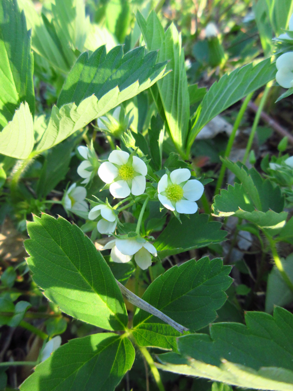 Wild strawberry Fragaria virginiana Rosenbaum-2.jpg
