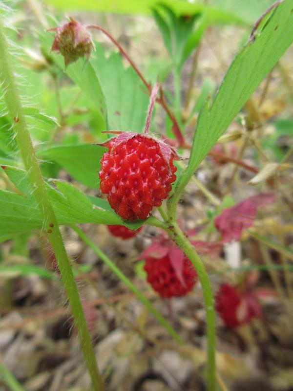 Wild strawberry Fragaria virginiana Rosenbaum-4.jpg
