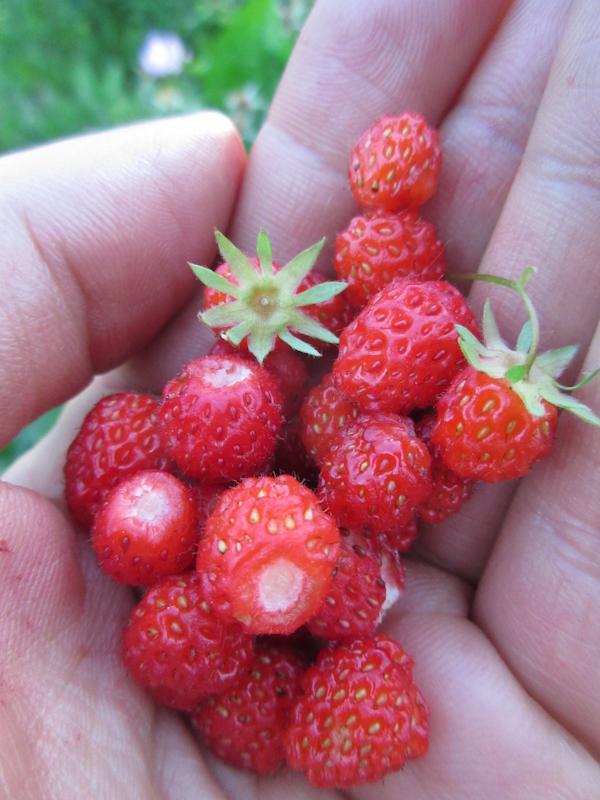 Wild strawberry Fragaria virginiana Rosenbaum-5.jpg