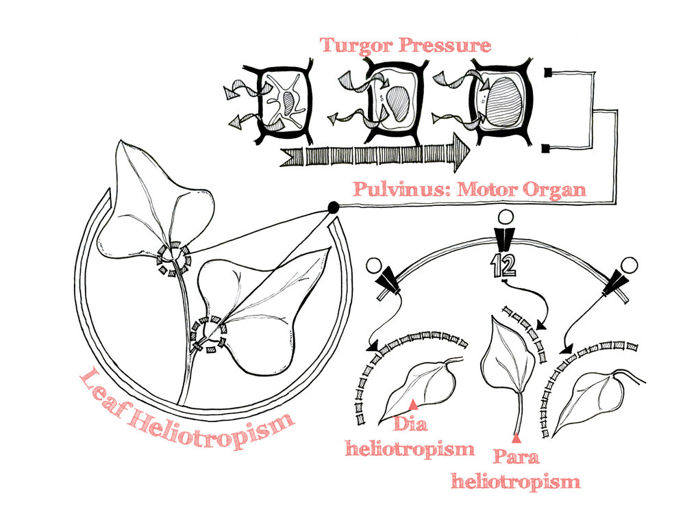 Turgor Pressure Sketch Diagram
