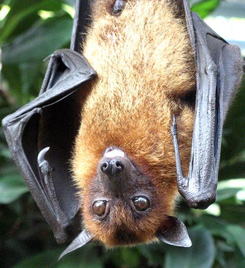 Ein Flughund kopfüberhängend im Tropischen Regenwald