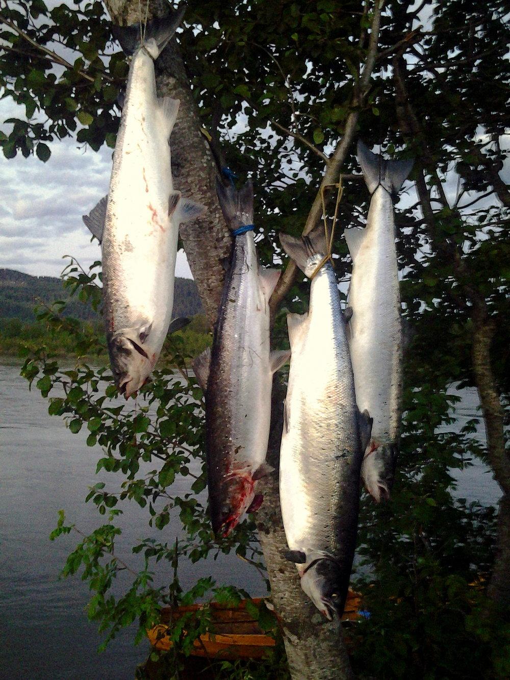 Høsting og matauk er tradisjon i Norge. I de elvene som fremdeles har et overskudd av gytelaks når sesongen er over, kan kanskje slike dagsfangster tolereres. For de fleste elver er det ikke slik. I 2015 ble hele 19 % av all fanget laks satt ut igjen, så høstingskulturen er i endring!  Foto: Per Holmstad