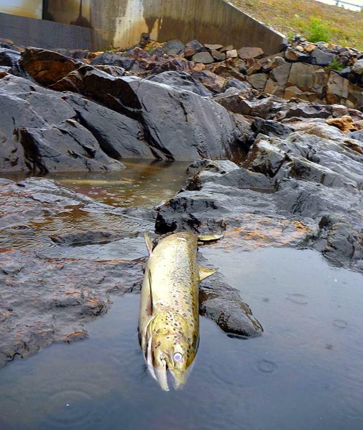 Plutselige endringer i vannstand kan resultere i at laks blir sperret inne på grunt vann og dør.  Foto: Save the Baltic salmon