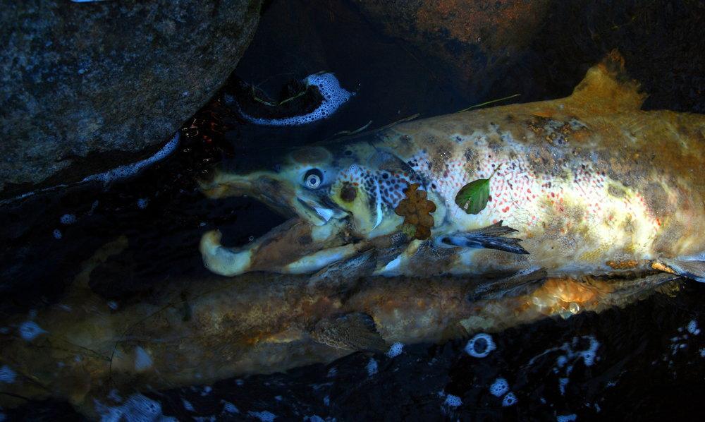 Effektkjøring kan drepe gytefisk i mindre, utbygde sideelver.  Foto: Save the Baltic salmon