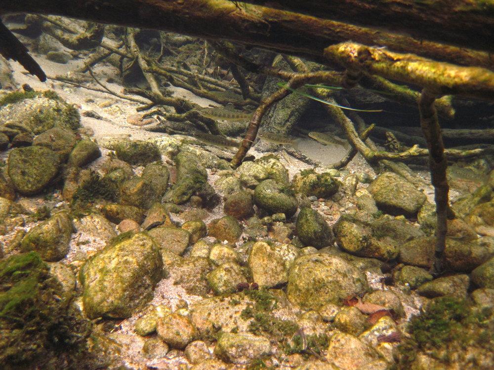 2 Ungfisk trenger skjul_Foto_Ulrich_Pulg_UniMiljø.jpg