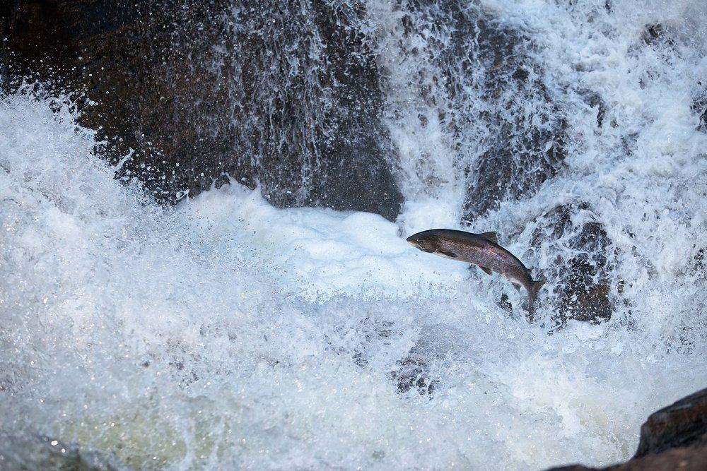 IMG_6089-leaping salmon_Foto_Matt_Hayes.jpg