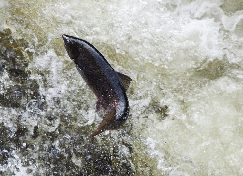 Leaping_Salmon_Eggafoss_Foto_Matt_Hayes.jpg