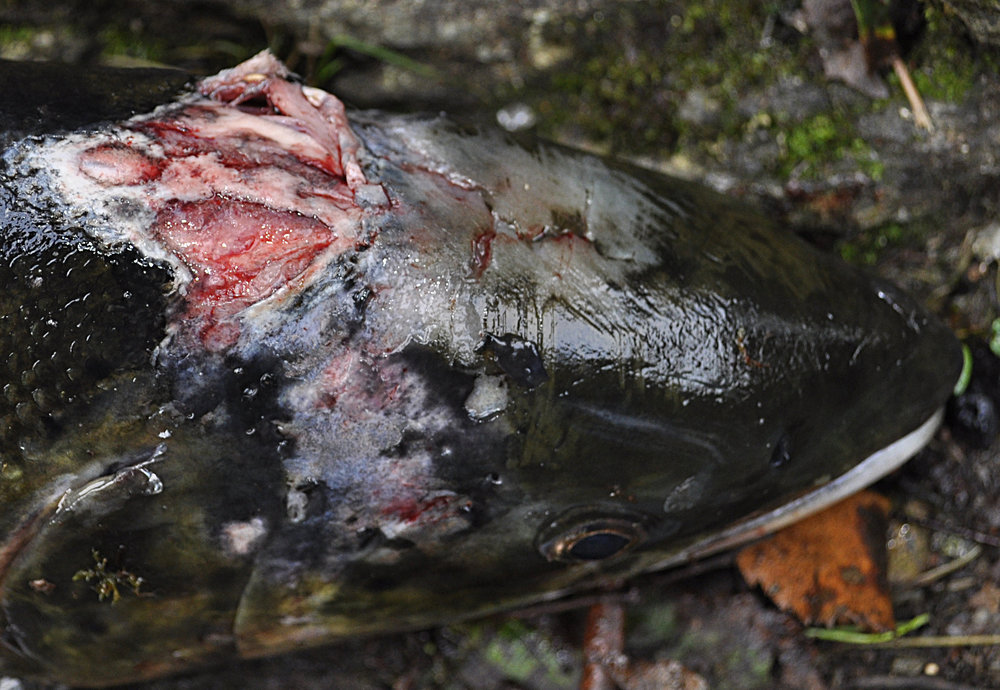 Salmon with severe injuries from sealice Photo:  John Øystein Berg