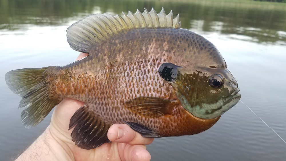 "Here's a 10"" plus gill that's also a male.  Note the dark colors, large ear tab, with blue accents around his gill plates.  This fish not only presents a giant of his species that would be great for any angler to catch again, his release during the bluegill spawn is vital to keeping big bluegills present in this lake."