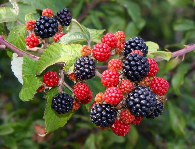 Blackberries-by-Hanney-Road-Steventon.jpg