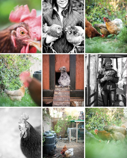 Chickens_Montage