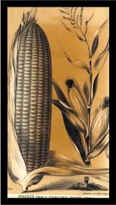 Corn-cropped
