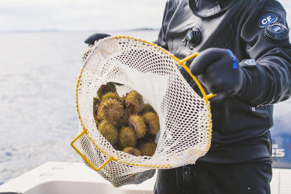 sea urchin Edible Boston-10_WEB.jpg