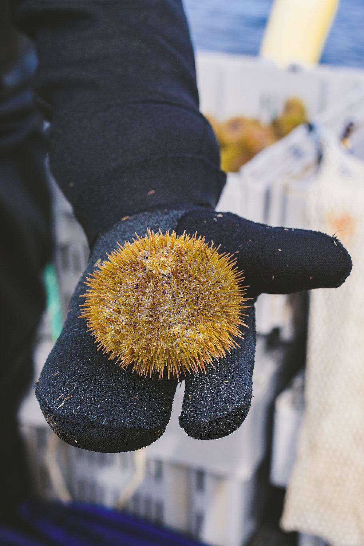 sea urchin Edible Boston-24_WEB.jpg