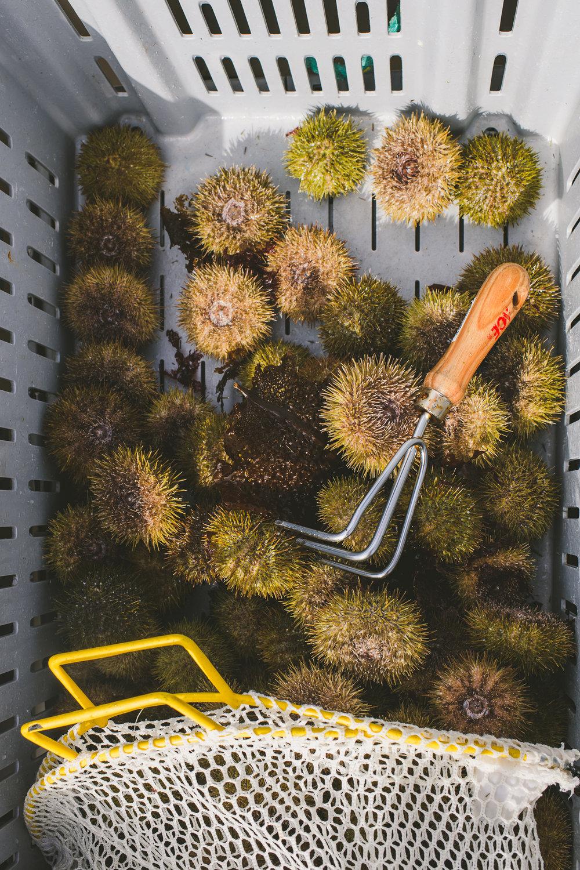sea urchin Edible Boston-27_WEB.jpg