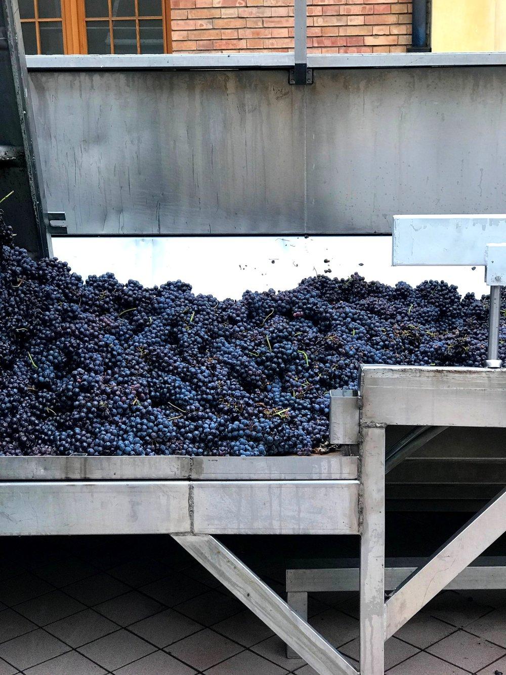 Last of the 2018 harvest, Marchesi di Barolo