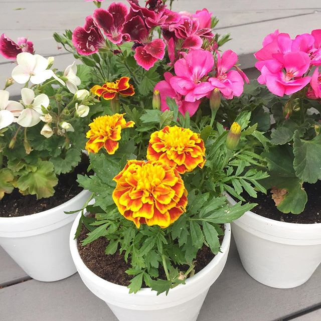 Just finished potting these flowers to represent our grandparents at the wedding ❤️ #flowers #marigolds #geraniums #blushedteacup