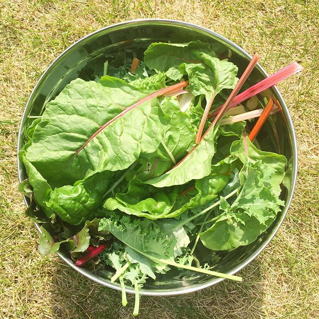 Today's harvest. A huge bowl of greens! 🌱 #beettops #beets #swisschard #kale #homegrown #garden #organic #farmtotable #realfood #yyc #blushedteacup