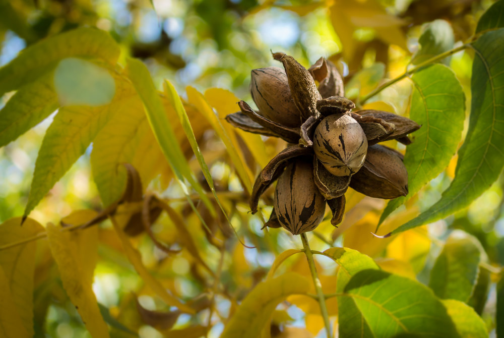 Cape Fear Pecans in Pecan Tree