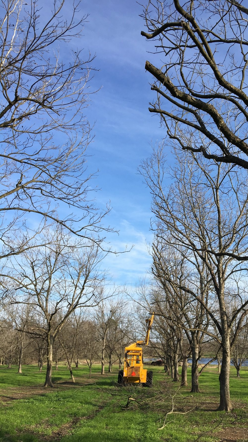 Hedging in Pecan Orchard