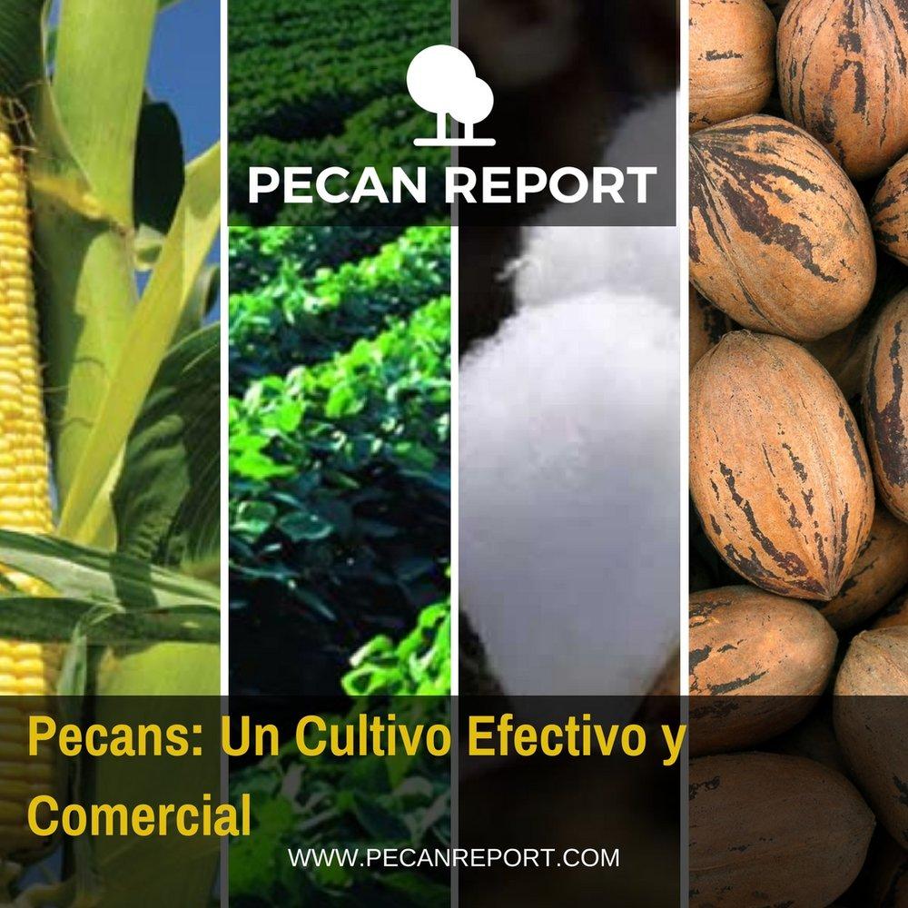Pecans- Un Cultivo Efectivo y Comercial.jpg
