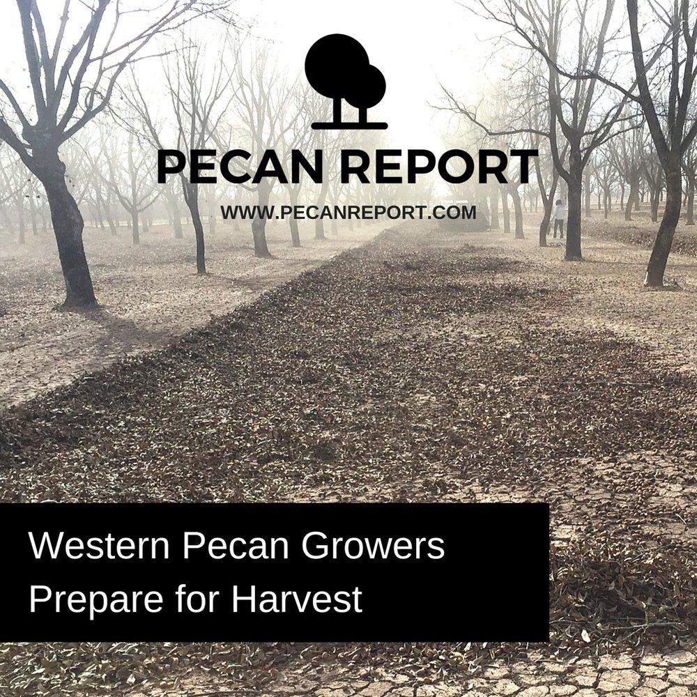Western Pecan Growers Prepare for Harvest.jpg
