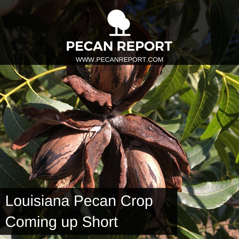 Louisiana Pecan Crop Coming up Short.jpg