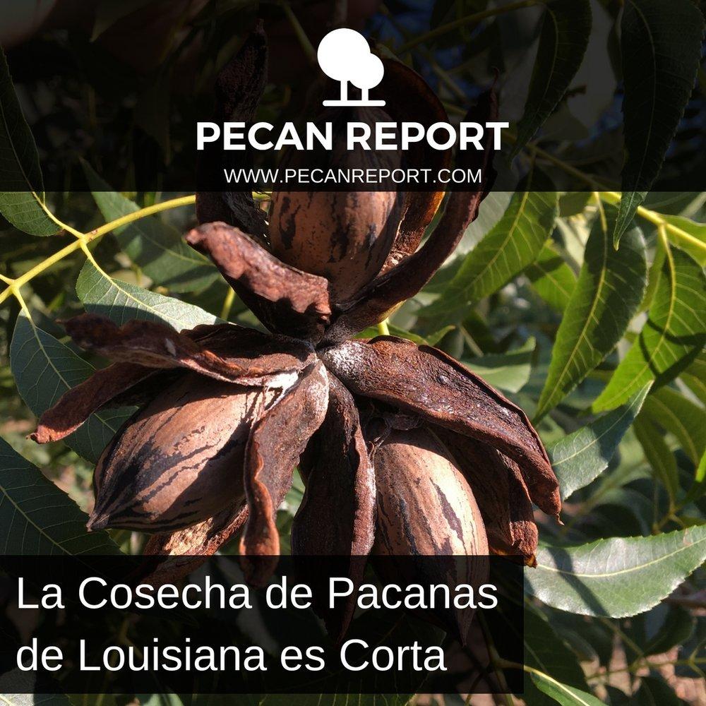 La Cosecha de Pacanas de Louisiana es Corta.jpg