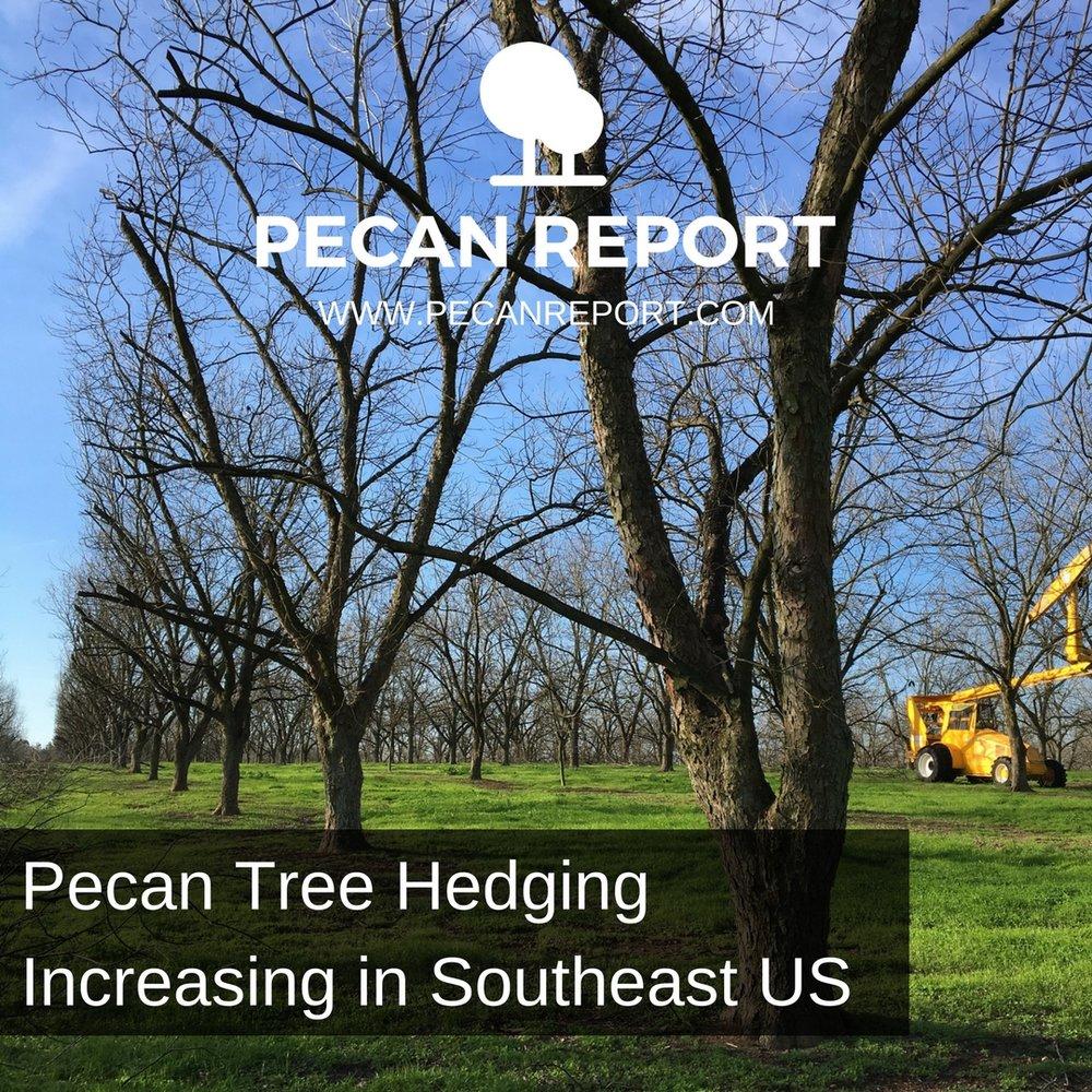 Pecan Tree Hedging Increasing in Southeast US.jpg