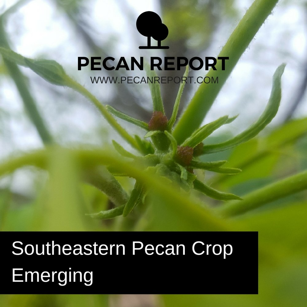 Southeastern Pecan Crop Emerging.jpg