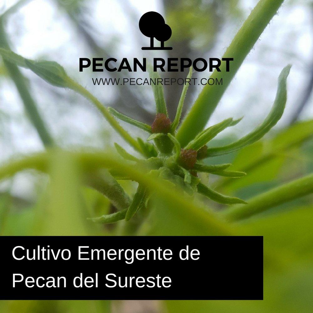 Cultivo Emergente de Pecan del Sureste.jpg