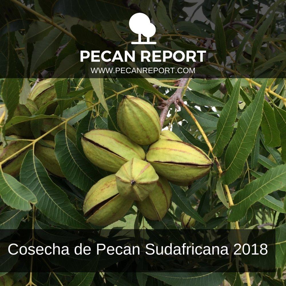 Cosecha de Pecan Sudafricana 2018.jpg