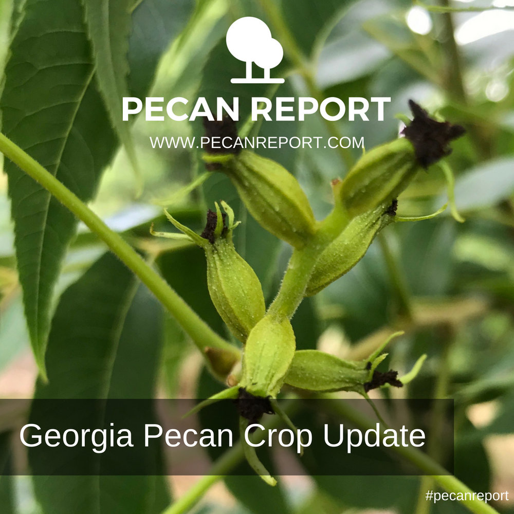 Georgia Pecan Crop Update.jpg