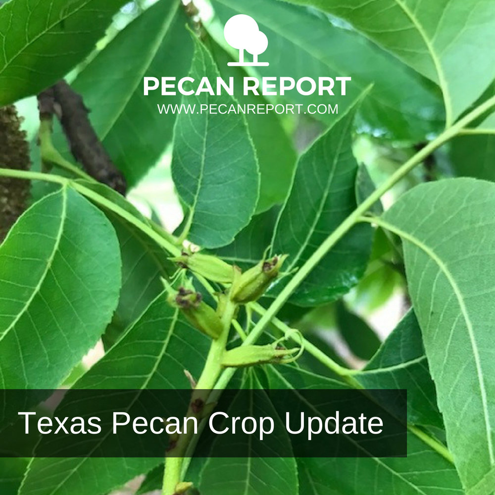 2018 Texas Pecan Crop Update.jpg
