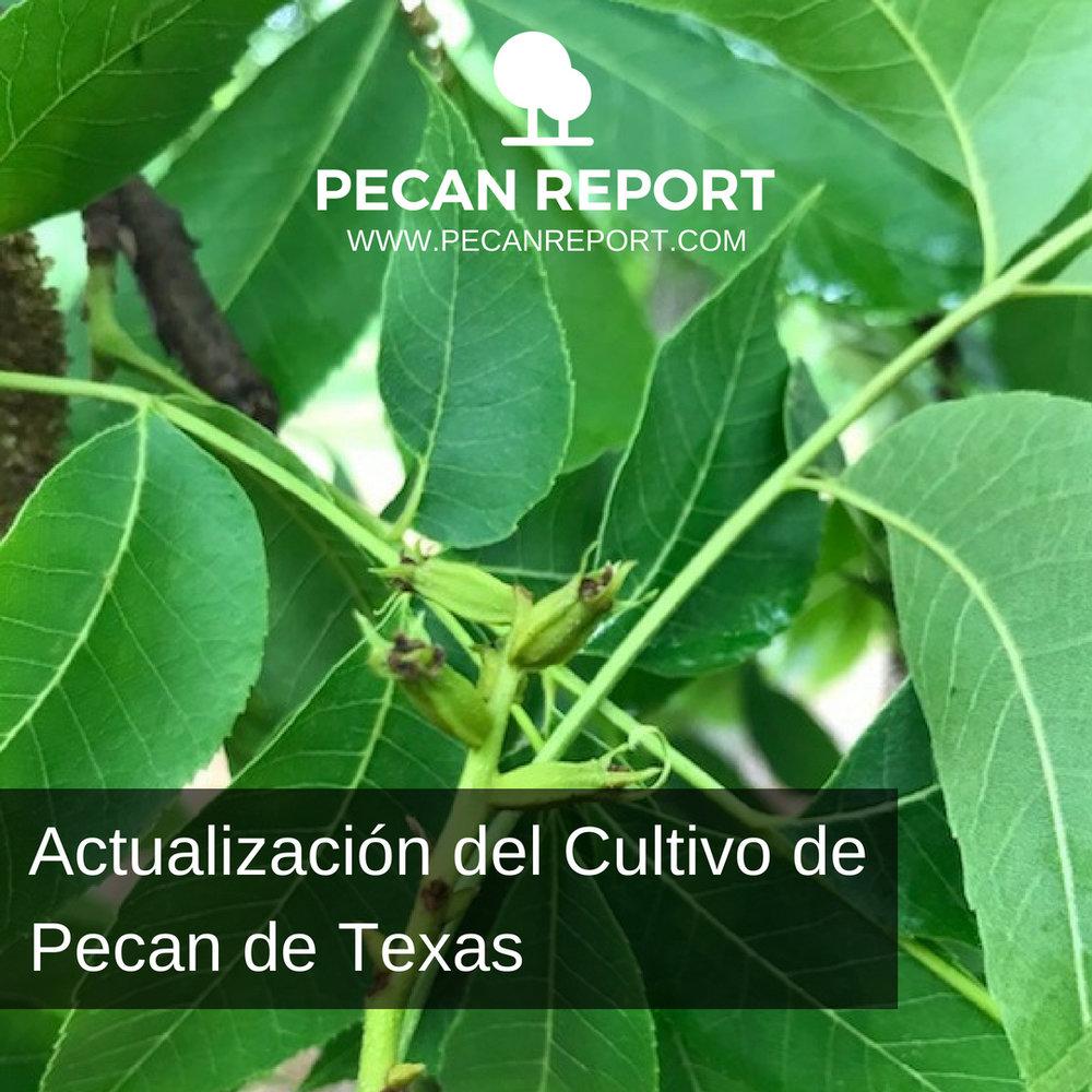 Actualización del Cultivo de Pecan de Texas.jpg