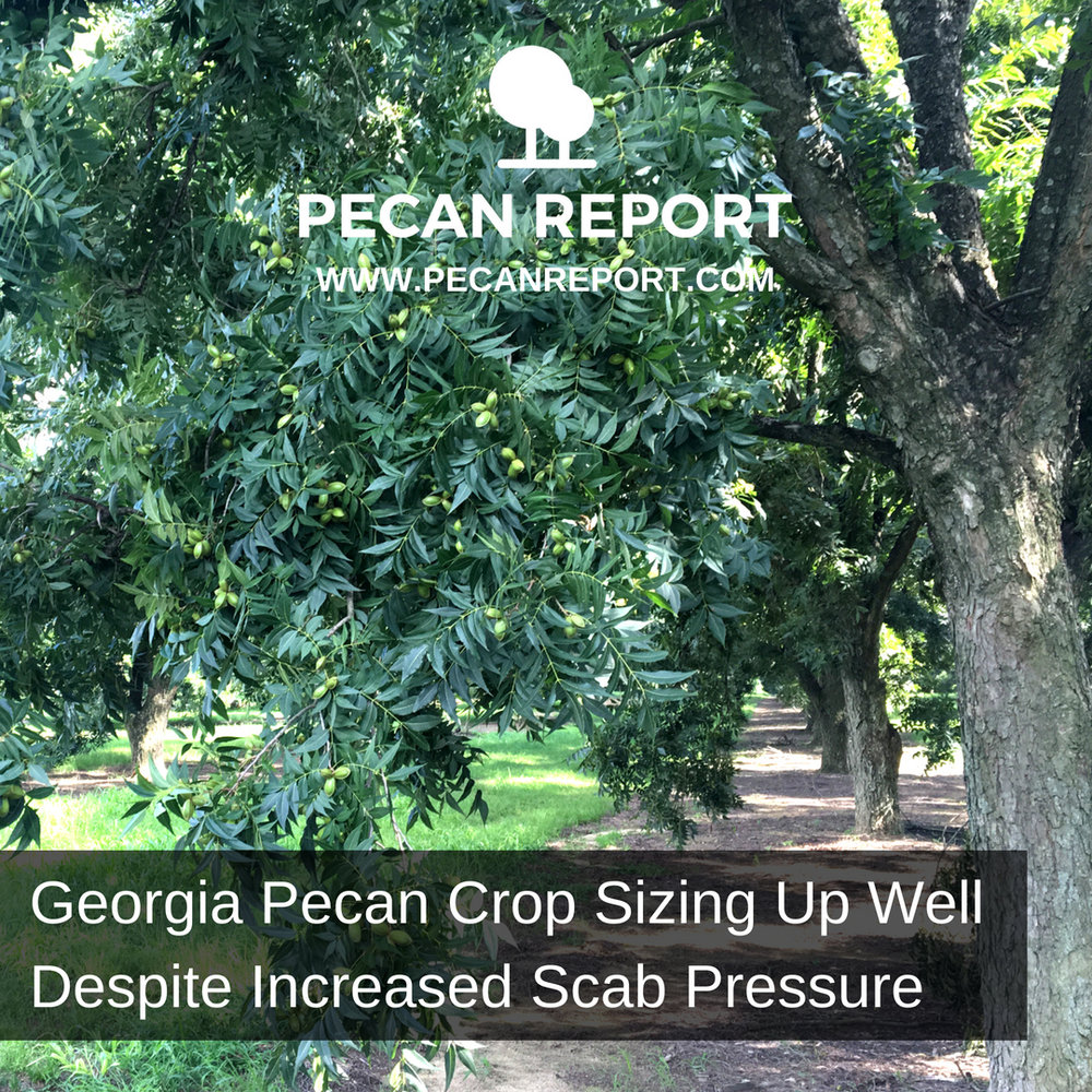 Georgia Pecan Crop Sizing Up Well Despite Increased Scab Pressure.jpg