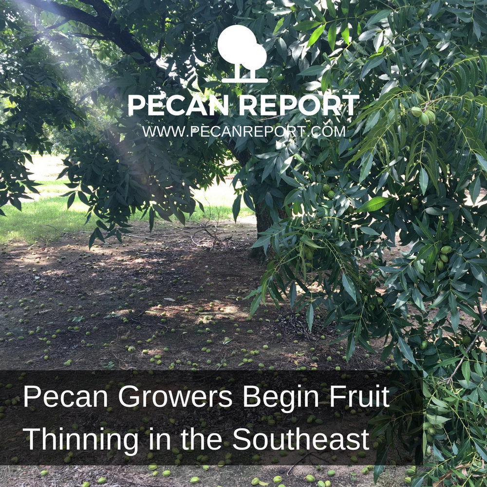 Pecan Growers Begin Fruit Thinning in the Southeast.jpg