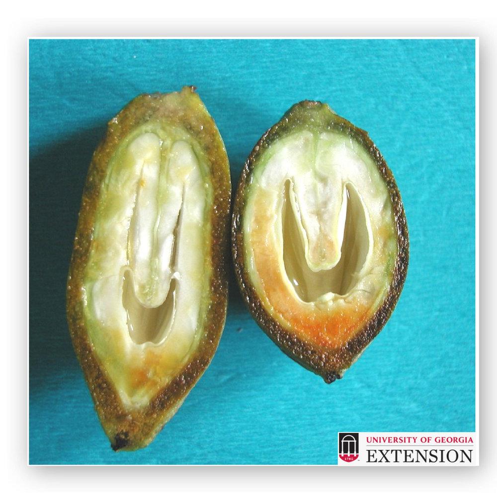 Pecan Fruit Thinning Nut Development Stage.jpg