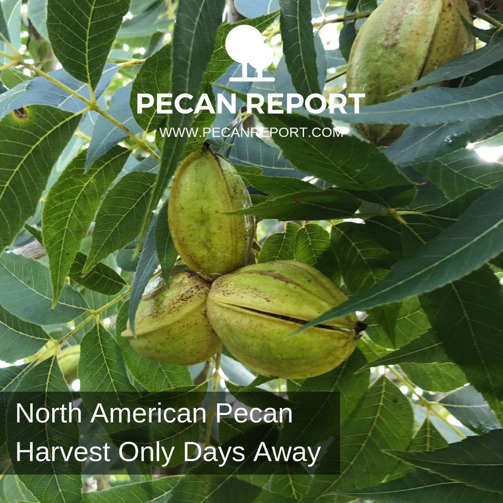 North American Pecan Harvest Only Days Away.jpg