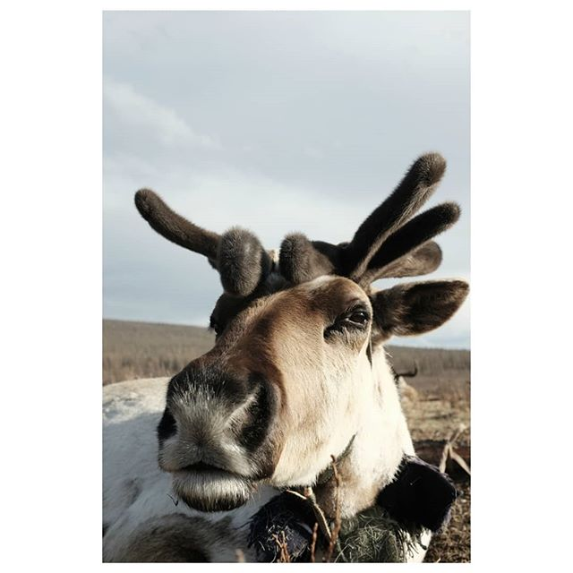 reindeer 2 . #mugshot #reindeer #reindeerherder #tsataan #tuvan #nomads #centralasia #taiga #northernmongolia #mongolia