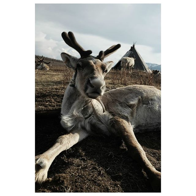 reindeer 1 . #mugshot #reindeer #reindeerherder #tsataan #tuvan #nomads #centralasia #taiga #northernmongolia #mongolia