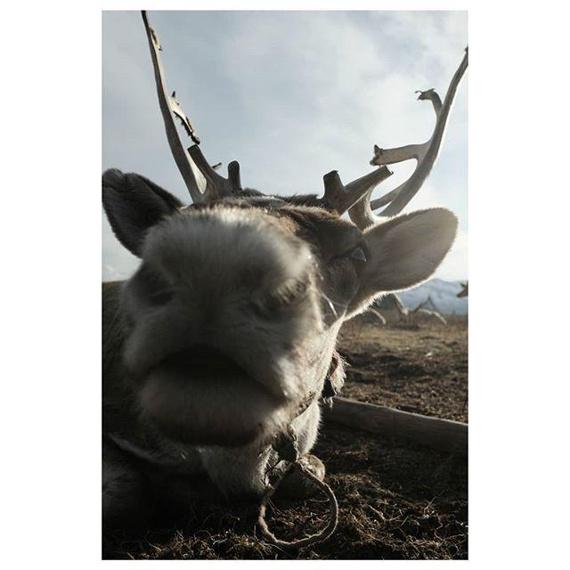reindeer 3 . #mugshot #reindeer #reindeerherder #tsataan #tuvan #nomads #centralasia #taiga #northernmongolia #mongolia