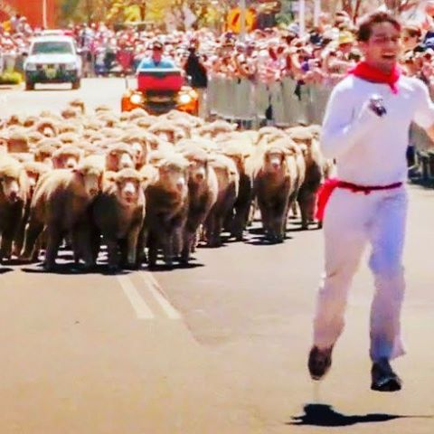 Australians run with sheep 🐏  www.runningwiththebullsinsidertours.com 🐃  #festivalinsidertours #runningwiththebulls #run #fun #aussiestyle #runningofthebulls #australia
