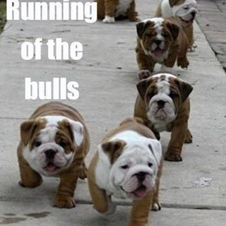 And I have no idea where these bulls run... but they are just to cute not to get a shout out.  www.runningwiththebullsinsidertours.com 🐃  #runningofthebulls #bulldog #cute #dogs #fun