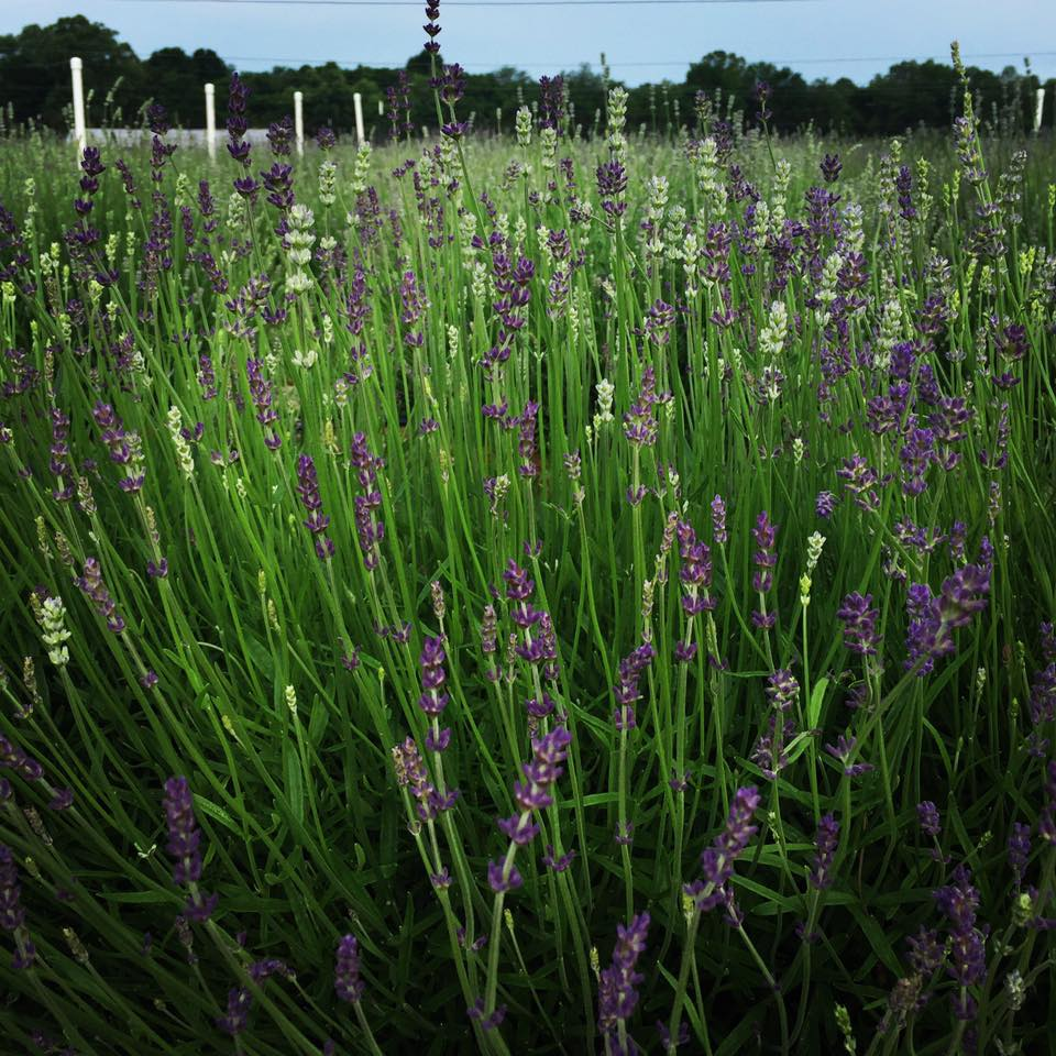 Maple Run Farm Lavender.jpg