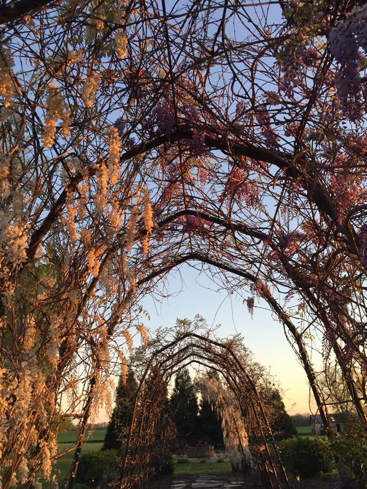 Maple Run Farm - Wisteria.jpg